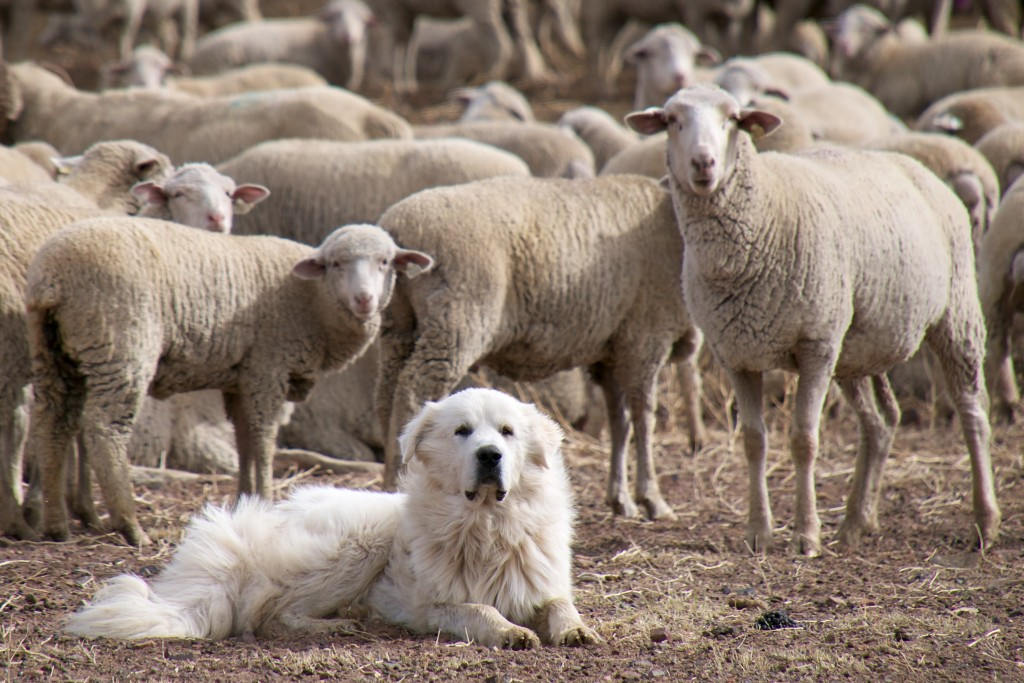 A Great Pyrenees Sheep Dog and its flock │© Don DeBold