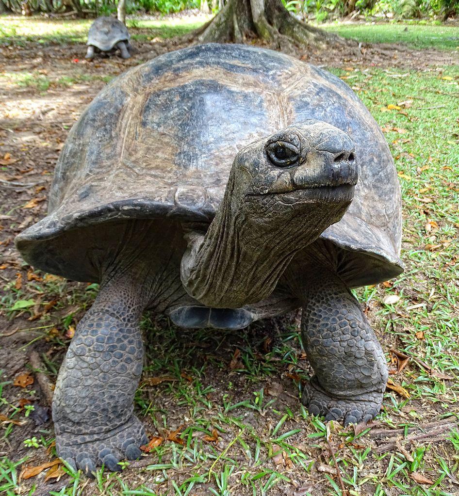 Aldabra Giant Tortoise | ©Bjørn Christian Tørrissen / wikipedia