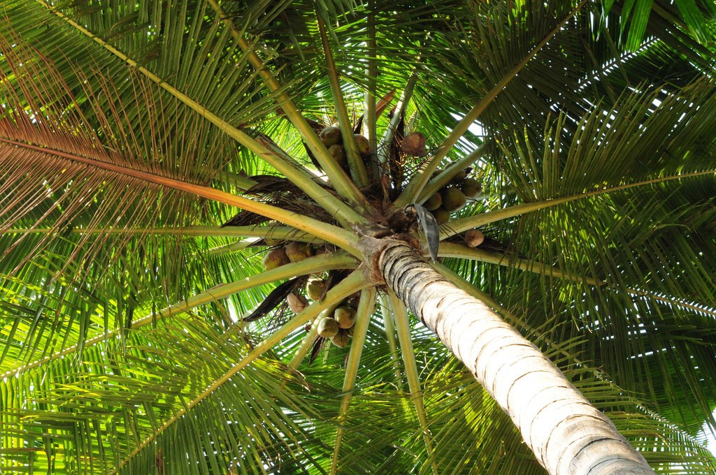Tropical coconut tree | © Kamaljith KV / Flickr
