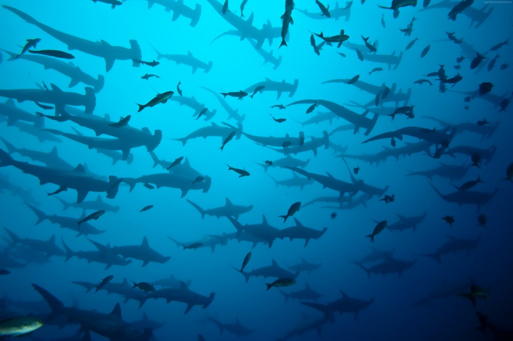 One of the largest congregations of hammerhead sharks in the world/John Voo/Flickr