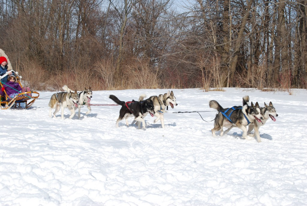 Dog Sledding © C Slack / Flickr