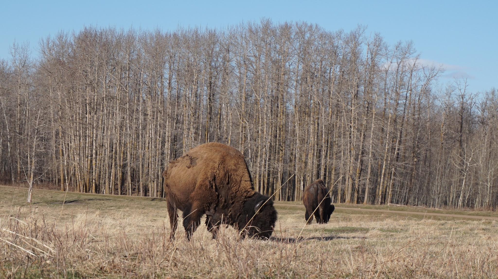 Wood Bison Trail Elk Island Park