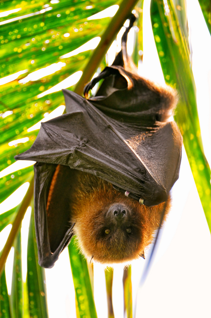 How To Eat Bat A Seychelles Local Delicacy