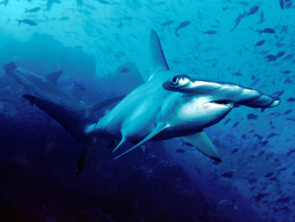 Hammerhead shark/Barry Peters/Wikimedia Commons