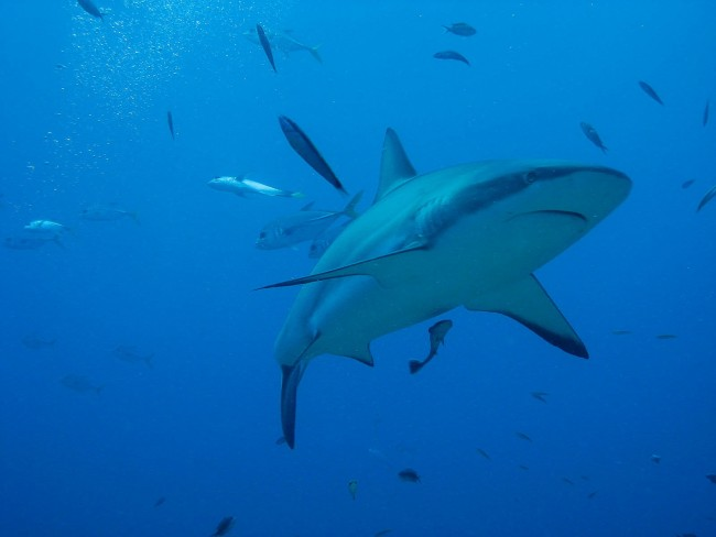 Shark | Public Domain Image