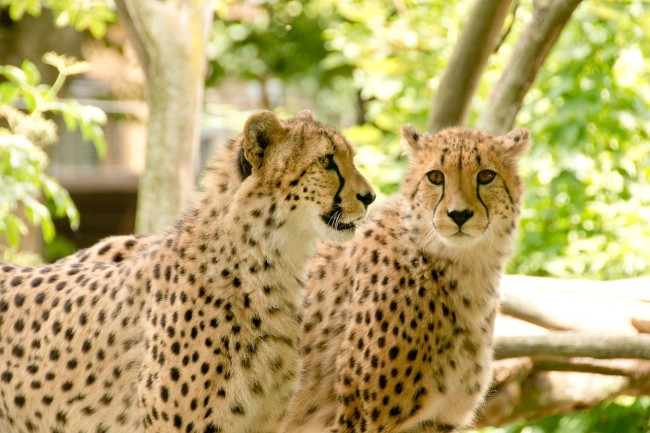 Cheetahs in Park   Max Pixel http://bit.ly/2kEqmr2
