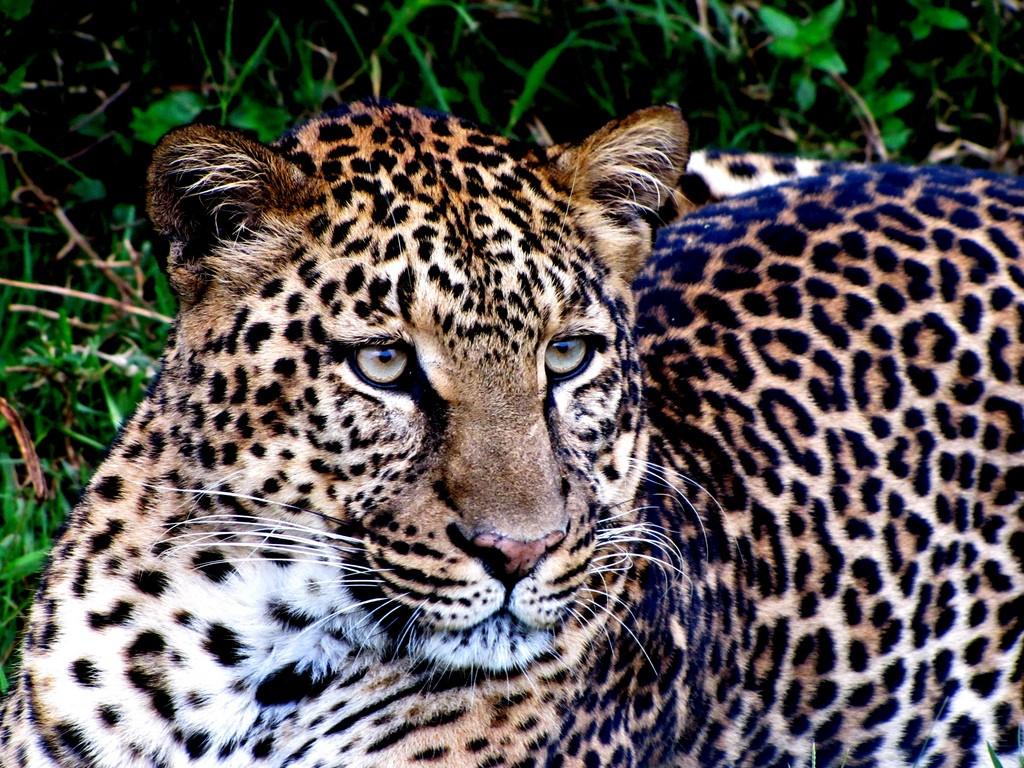 Leopard up close at Aberdare National Park   © Balathasan Sayanthan / Flickr