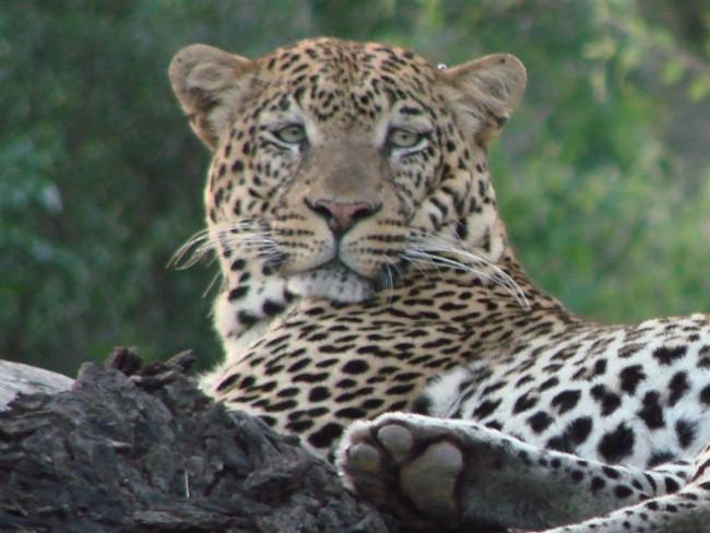 A leopard rests on a tree stump in Kenya | ©fishingfrizzy/ Flickr