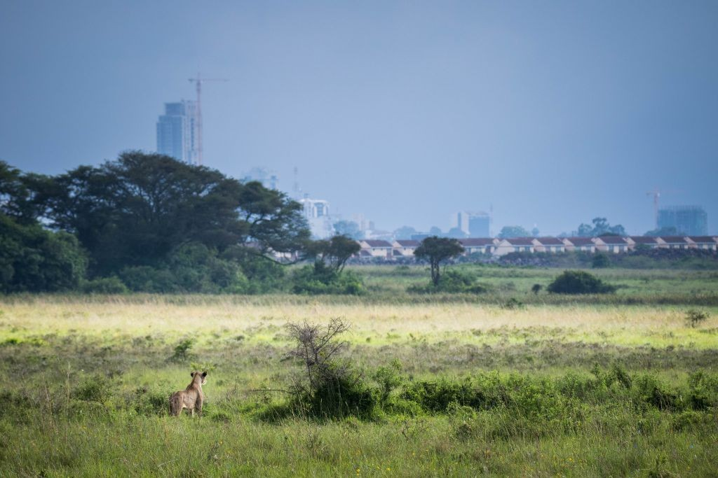 Lioness staking out her environment with a view of the city in the horizon   © Make It Kenya / Stuart Price/ Flickr