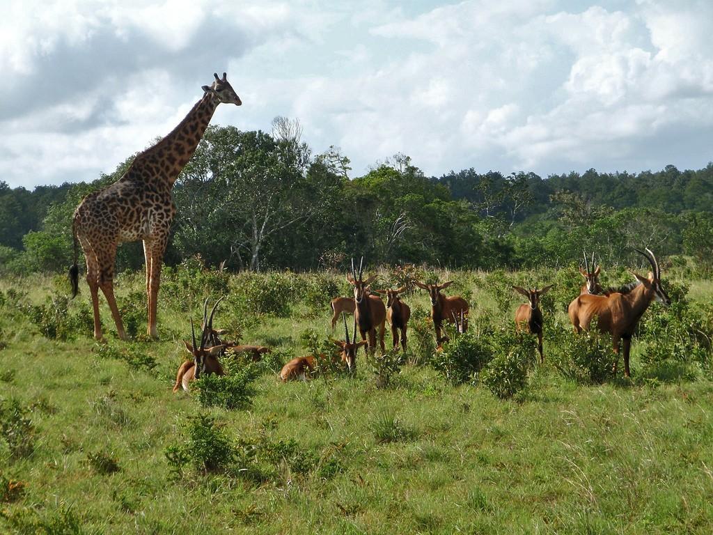 Giraffe and sable antelopes at Shimba Hills   © Martin from Tyrol / Flickr