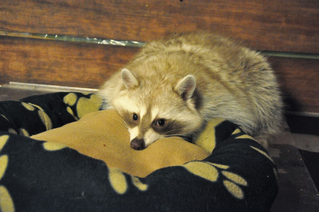 Cute raccoon at Blind Alley Café | © Linda Dunsmore
