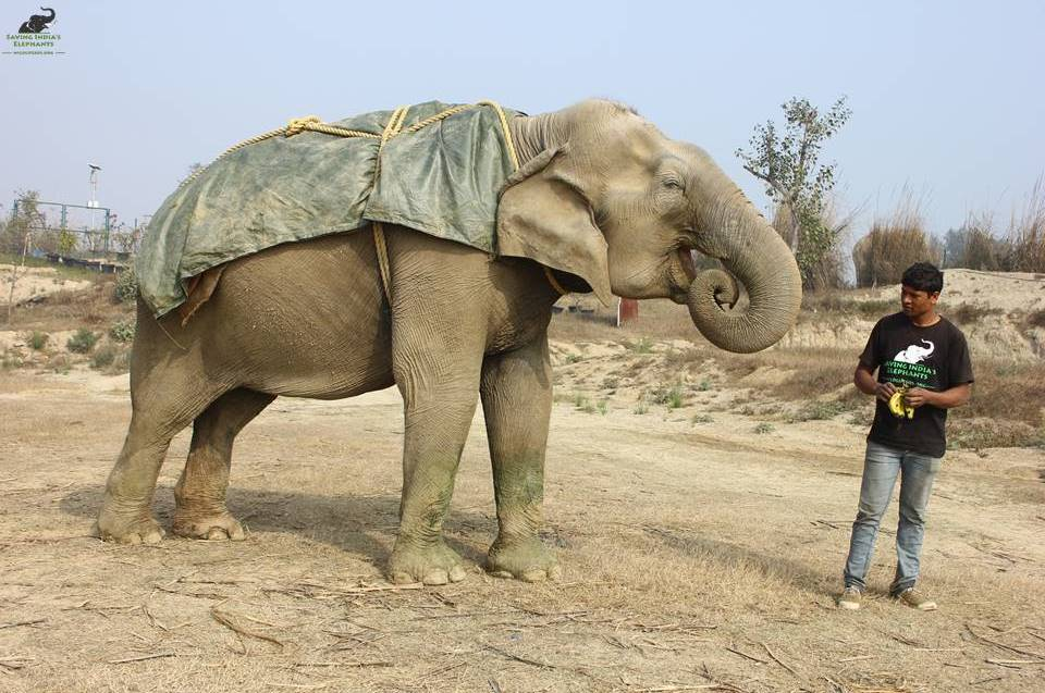 Rescued elephant Suzy out on a walk wearing her blanket © Wildlife SOS