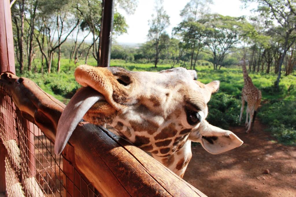 A Rothschild giraffe at Giraffe Centre | © Filip Lachowski / Flickr