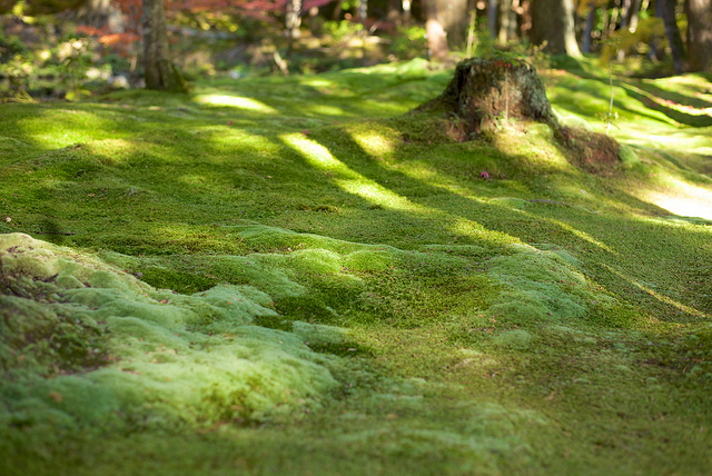 The Moss Garden at Saiho-ji Temple