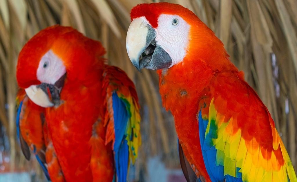 Scarlet macaw |© pixabay