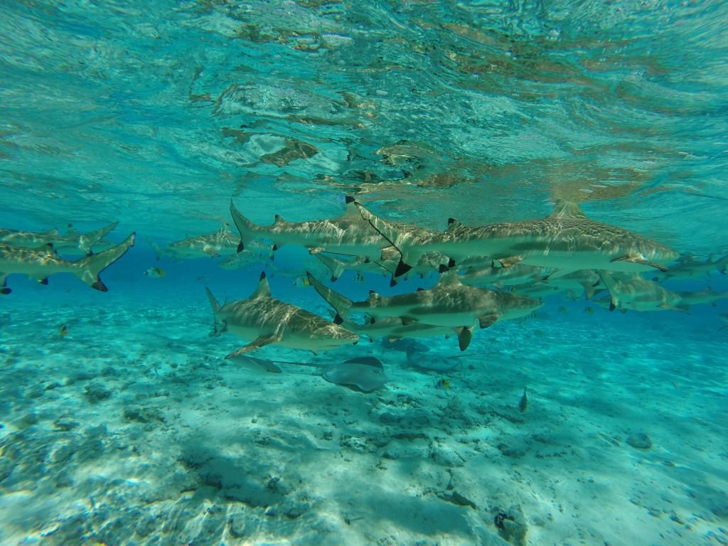 Underwater scene: sharks | Pixabay