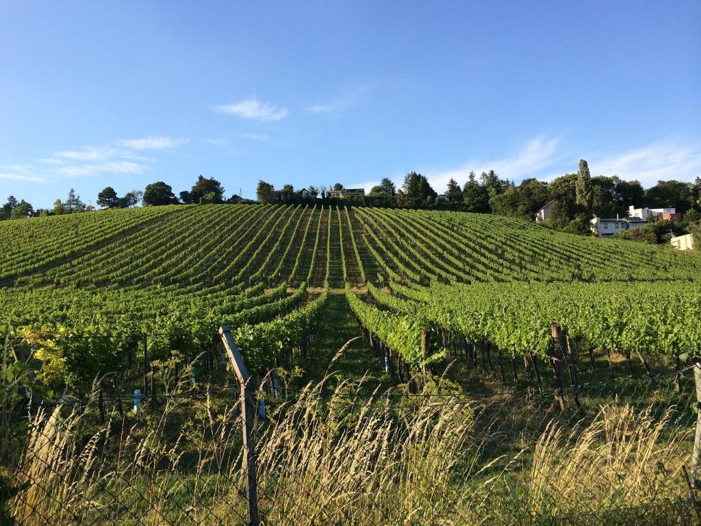 Vineyards in Vienna's hills   © lafilledevienne / pixabay