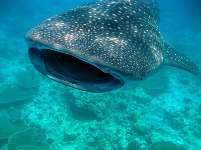 Whale Shark   ©Christian Steen/Flickr