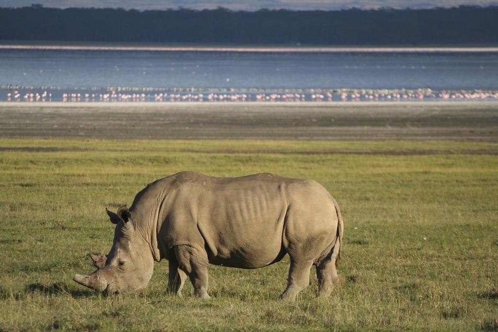 White rhino at Nauku National Park   © Rob & Dani / Flickr