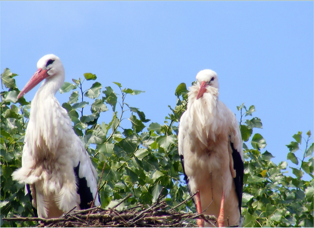 White storks at 't Zwin | © sophie / Flickr