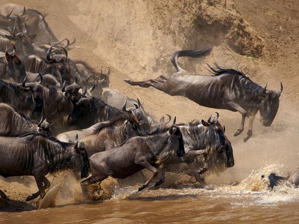 Wildebeest migration at the Maasai Mara National Reserve, Kenya| © 40655905@N06 / Flickr