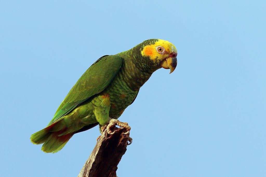 Yellow-face parrot |© Charlesjsharp/WikiCommons