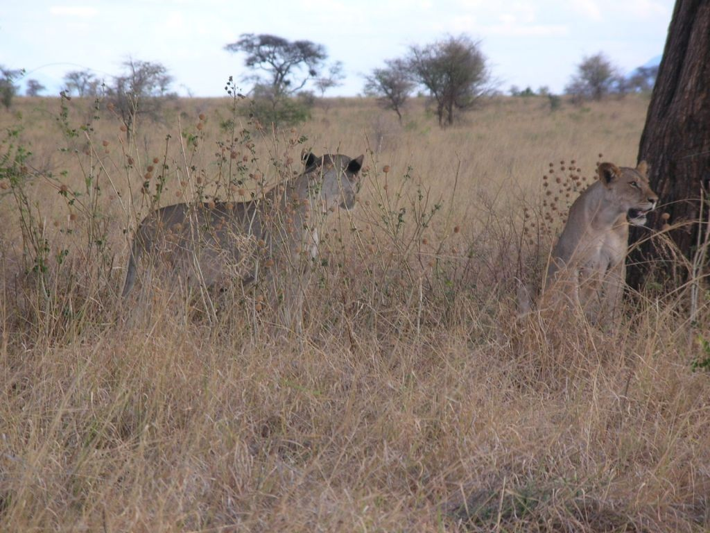 Young lions at Meru National Park   Courtesy of Kenya Wildlife Services