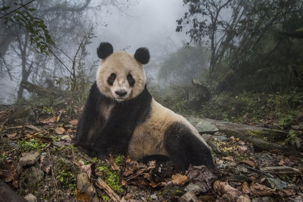 Pandas Gone Wild | © Ami Vitale / 'National Geographic Magazine'