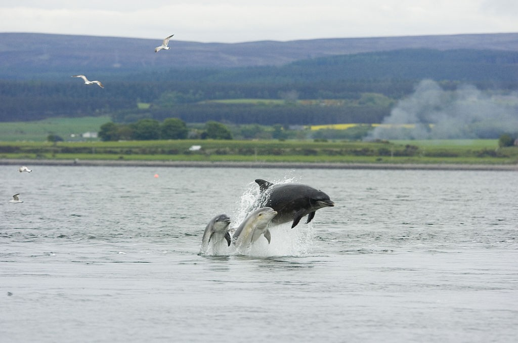 Dolphin and Young, Chanonry Point | © Peter Asprey/Wikimedia Commons