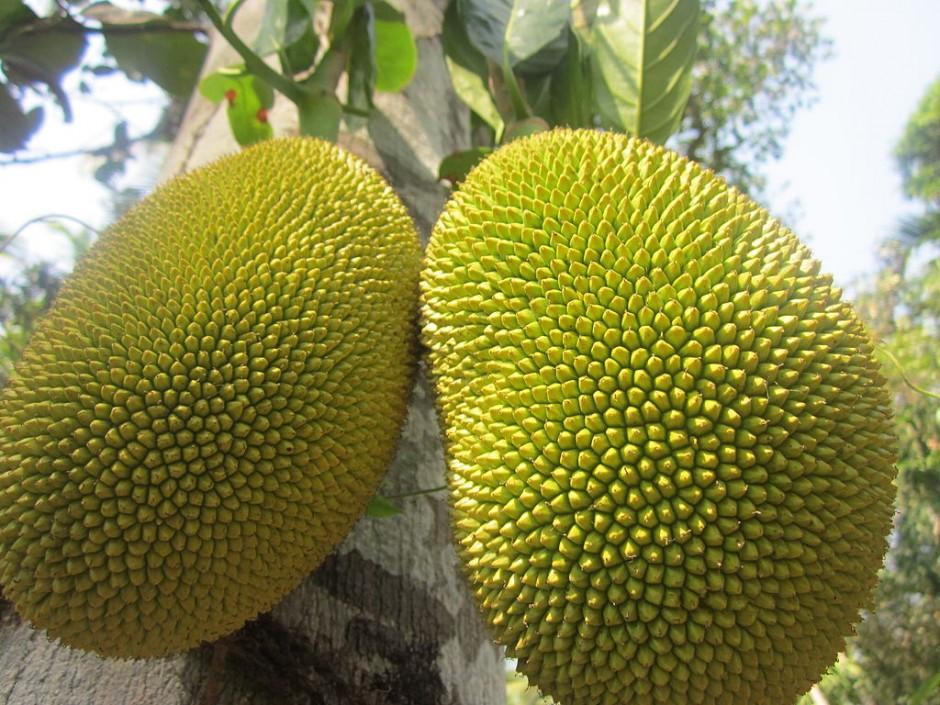 The jack fruit, a native fruit to Rio de Janeiro |© Chandana12/WikiCommons