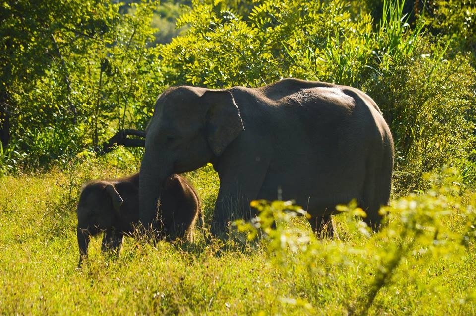 Elephant calves are usually dependent on mother's milk for up to 3 - 4 years | © Hashan Gunasekara