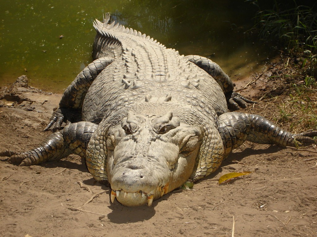 Saltwater crocodile |© fvanrenterghem / Flickr https://www.flickr.com/photos/fvanrenterghem/2641634391/
