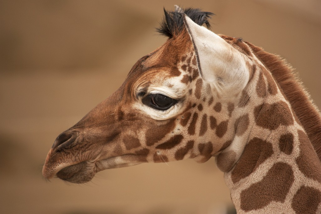 A baby giraffe at Artis Zoo | ©Kitty Terwolbeck/Flickr