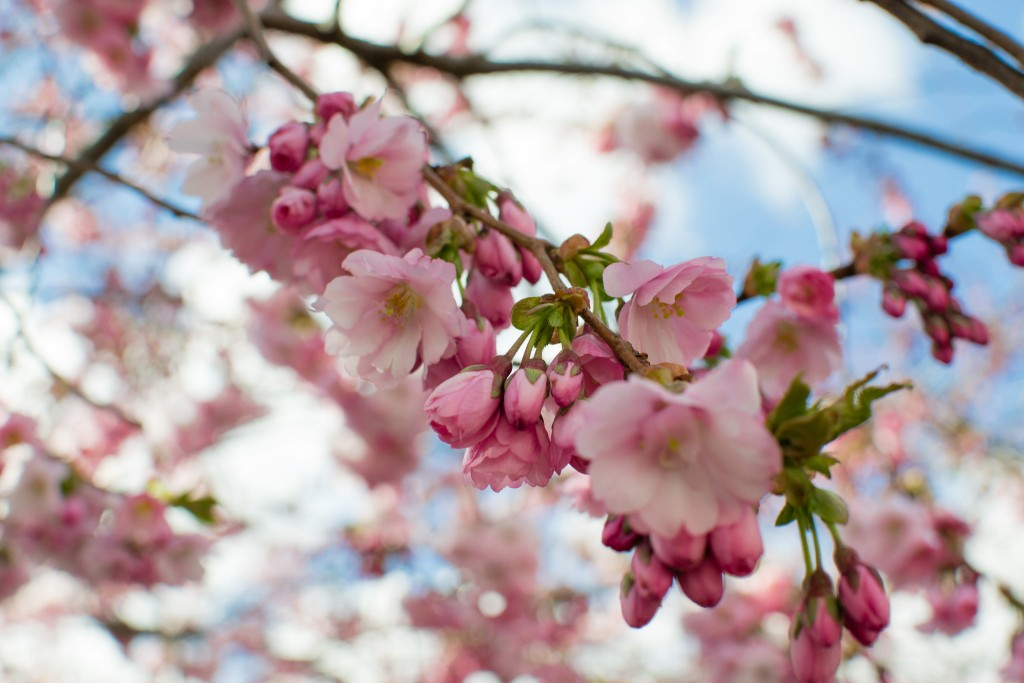 Cherry Blossoms © 2benny / Flickr