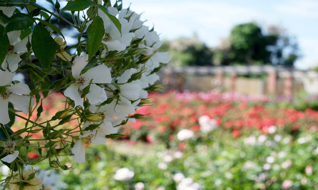 Southsea Rose Garden, Portsmouth, United Kingdom