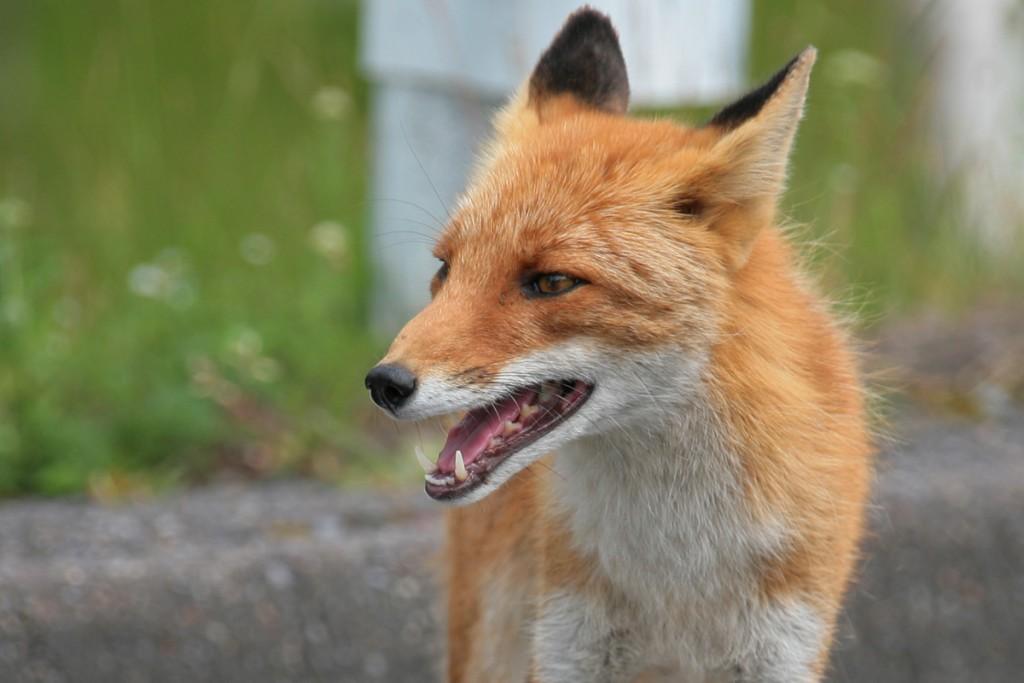Hokkaido red fox   ©Nakae / Flickr