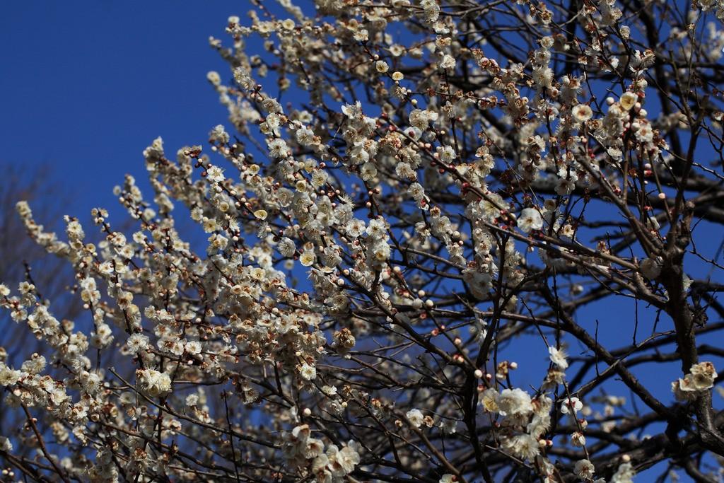 Clear sky and plum blossoms, Koganei Park | © PROTANAKA Juuyoh (田中十洋) / Flickr