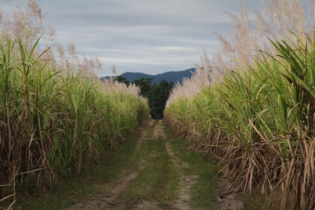 Sugar cane fields in KwaZulu-Natal are some of the best in the world ©Jenny Mealing/Flickr