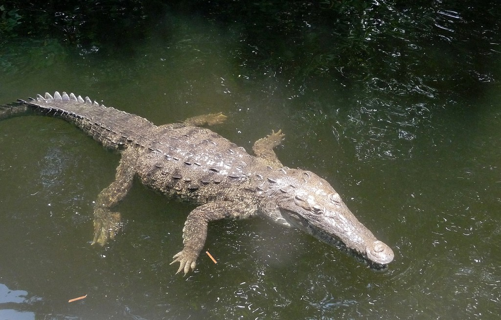 Crocodile, Black River Jamaica | © Ian/Flickr