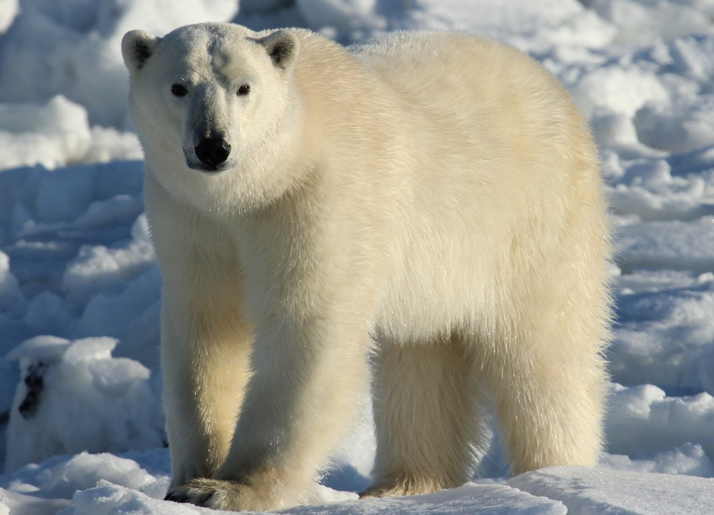 The Essential Guide To Seeing Polar Bears In Canada