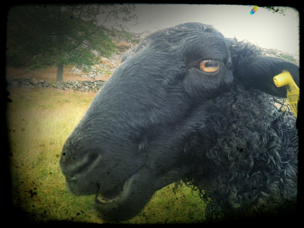 sheep, black, family