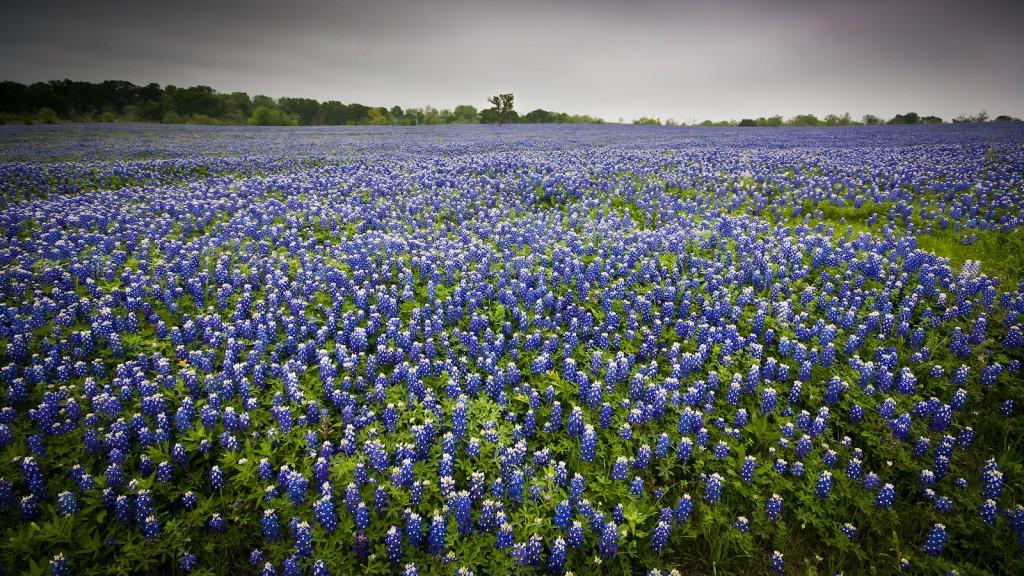 Bluebonnets near Ennis © Jeff Pang