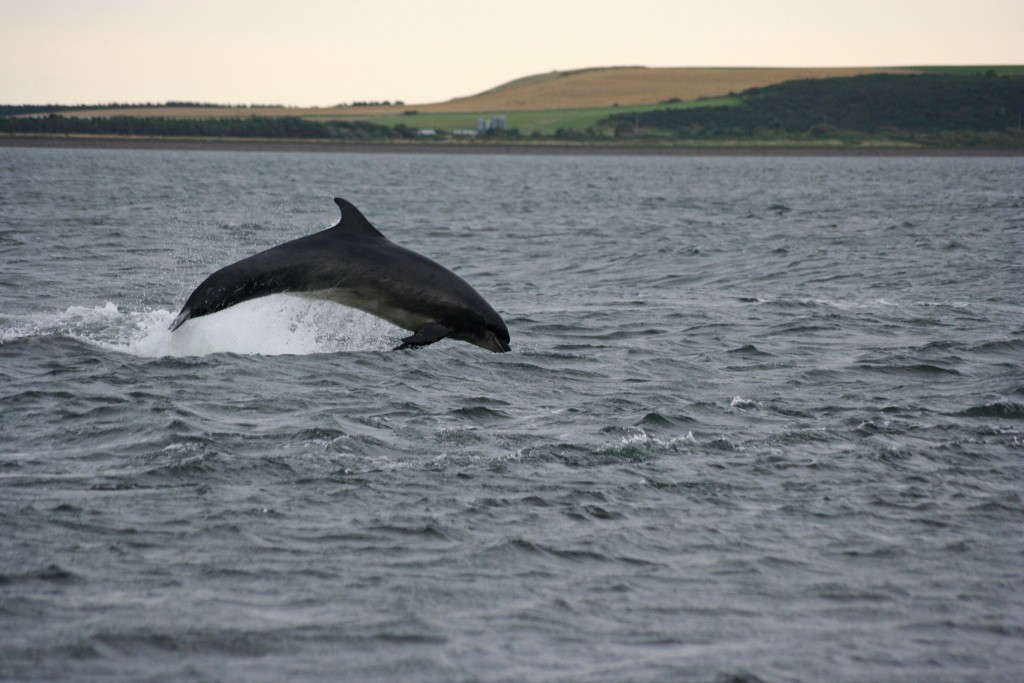 Bottlenose Dolphin From Fort George | © Tom Hartley/Flickr