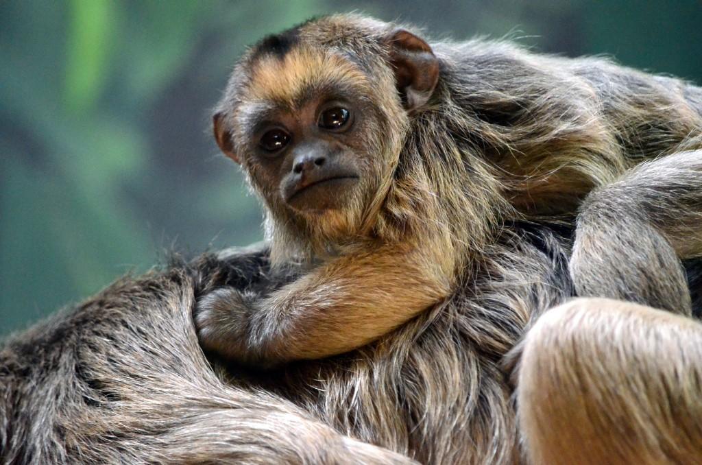 Howler Monkey | © angela n./Flickr