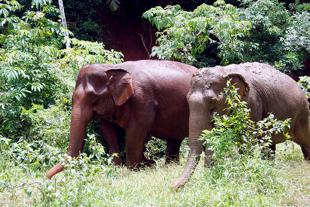 Elephants roam the jungle in Mondulkiri I © Marissa Carruthers