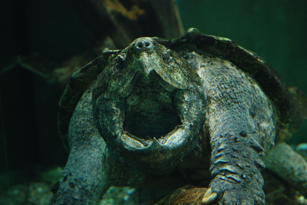 Alligator Snapping Turtle │© Christopher Evans / Flickr