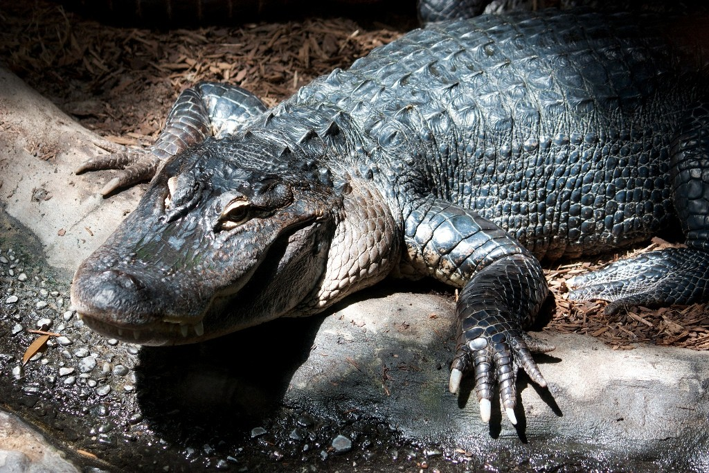 American Alligator | (c) Mike Bowler / Flickr