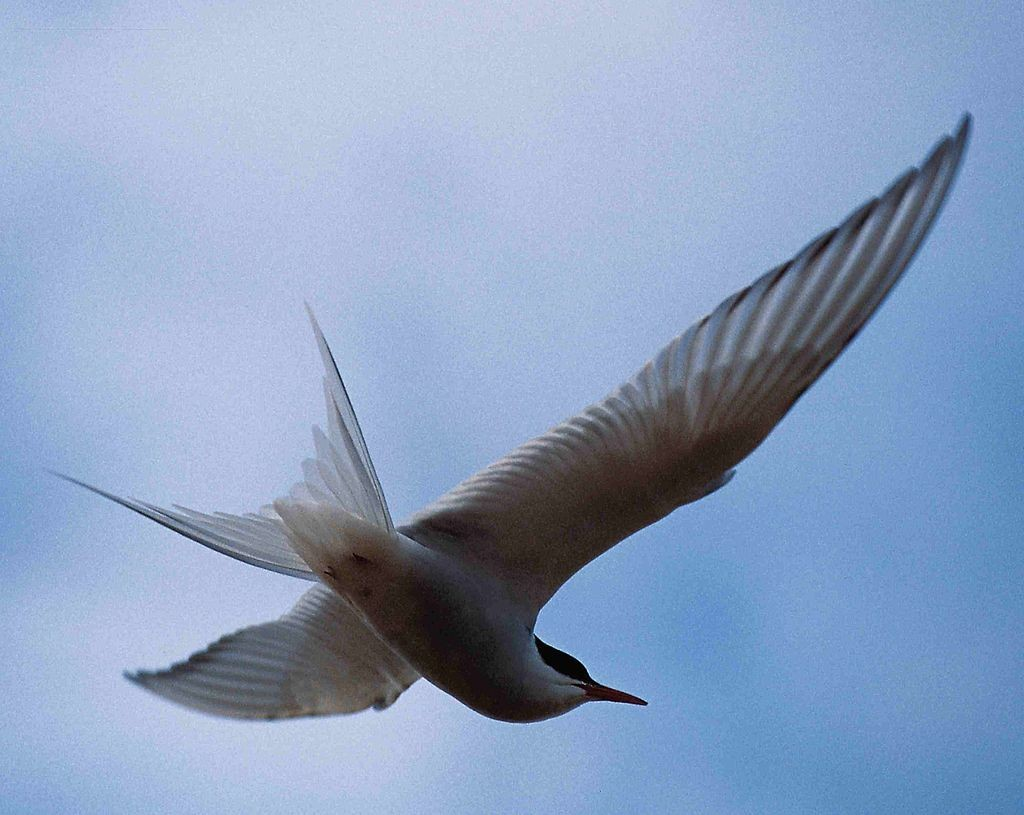 The Arctic Tern | © Wikimedia Commons