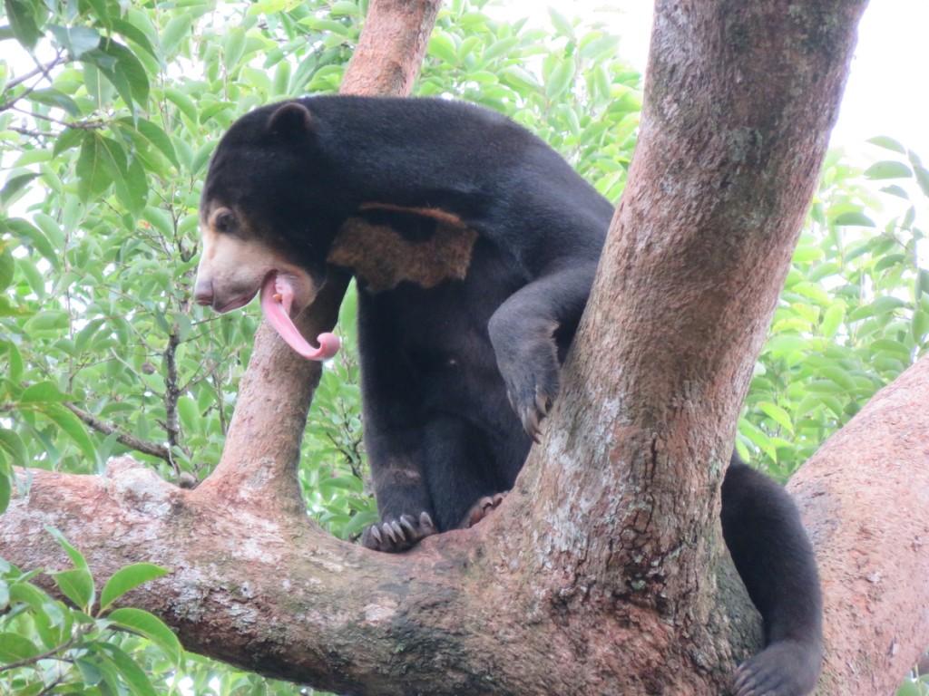 Sun bears can be seen at Phnom Tamao Wildlife Centre © Wildlife Alliance