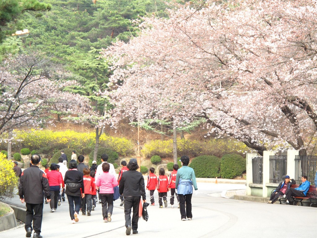 Cherry blossoms bloom in Duryu Park